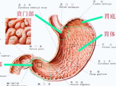 胃部图片结构图